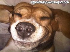 Bigi The Beagle Dog From Wroclaw, England - Funny Pictures of Puppy Dogs Upside Down