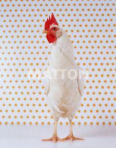 Poule référence OE3-63730 sur www.matton.fr