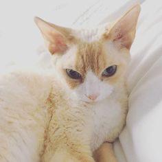 Good morning says my dreamy cat / Miso le rêveur dit bonjour. #misothecat #devonrex #someow #dreamycat