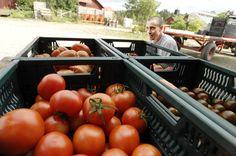 Ställs det svenska jordbruket om till 100 procent ekologiskt skulle bara hälften så mycket mat produceras på den åkerareal vi har i dag, hävdar fyra forskare vid SLU i en mycket ekokritisk debattartikel.
