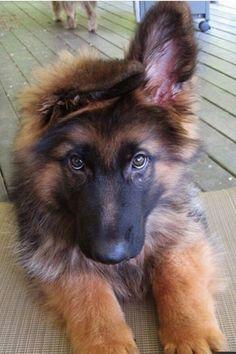 GSD Puppy...Adorable