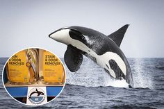 Ace Hardware stores near the endangered Southern Resident killer whales'  home are using a new label to show what products won't hurt the marine environment.