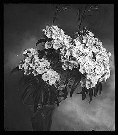 https://flic.kr/p/6nmKsj | Kalmia latifolia (Mountain Laurel) (vase)…