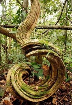 """""""Curved tree"""", ©science photo libraryP. S.: This BLOG changed all the information in my post. It is not fair."""