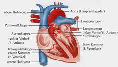 Herz: Anatomie