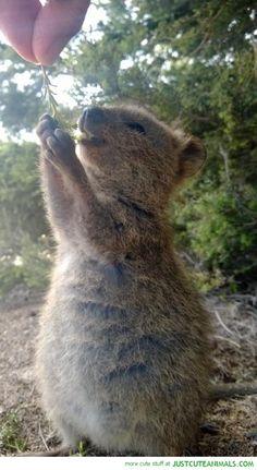 Everyone can learn lessons in gratitude from these cute animals: Quokkas. Look how happy she is by just being given a small sprig! 17 Reasons Why 2015 Will Be The Year Of The Quokka. Happy Animals, Animals And Pets, Funny Animals, Cute Animals, Wild Animals, Cute Creatures, Beautiful Creatures, Animals Beautiful, Especie Animal