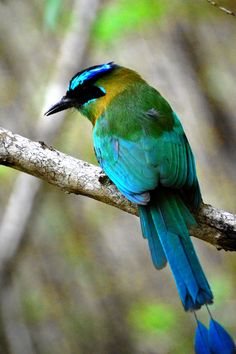 "Blue crowned motmot ~ ""Tails"" by Javo Gomez. Saw one in Costa Rica"