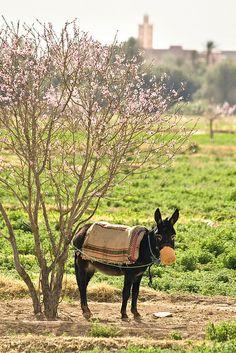 Donkey in Zagora, Ouarzazate, Morocco