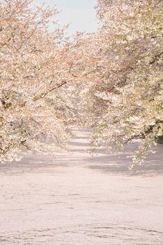 桜の花筏(はないかだ)@青森県弘前市 弘前さくらまつり2014 Carpet of cherry blossom petals i at Hirosaki Park, Aomori, Japan