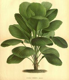 Licuala grandis (Bull.) H. wendl.
