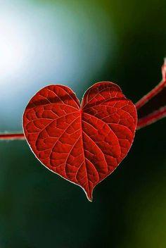 coeur rouge feuille