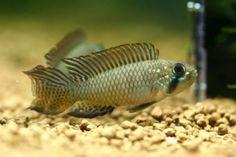 Apistogramma brevis   Cichlidae