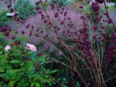 Pink Muhly Grass (Muhlenbergia capillaris), Beautyberry (callicarpa bodinieri), and shrub rose (try Harlow Carr rose by David Austin roses)