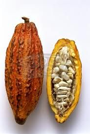 A mature cacao pod. About how many beans in an average pod? Find out in our Chocolate Tasting Class! http://www.cocova.com/tasting-workshop