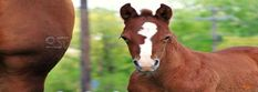 A. This site has links from A-Z to information of different horse breeds. B. Students can directed to chose a breed to read about, write about and share with peers. Create a presentation. Or this can be used to find information to create a lecture on horse breeds.