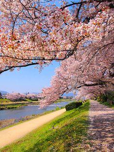 Kyoto Kamogawa River Sakura