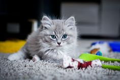 ragdoll kitten -want!!!