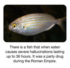 This fish, Sarpa salpa, is commonly caught off the coast of South Africa and in the Mediterranean and is also known as Hallucinogenic Fish Random Science Facts, Weird Facts, Fun Facts, Mini Games, School Humor, Roman Empire, Drugs, Fish, Awesome