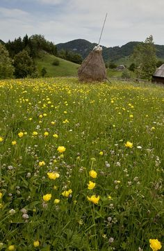 Masses of globeflowers (Trollius sp.) in upland meadows in the Piatra Craiului mountains, Romania. Landscaping On A Hill, Country Landscaping, Outdoor Landscaping, Outdoor Decor, Science Photos, Garden Landscape Design, Tourist Places, The Beautiful Country, Beautiful Places To Visit