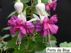Fuchsia 'Pinto de Blue' - Double flower, sepals white, corolla blue
