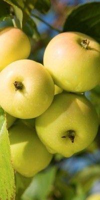 propiedades de la manzana http://www.plantas-medicinal-farmacognosia.com/productos-naturales/manzano/