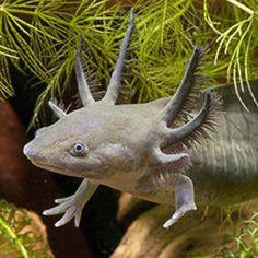 Waterdog! Turns into a tiger salamander.