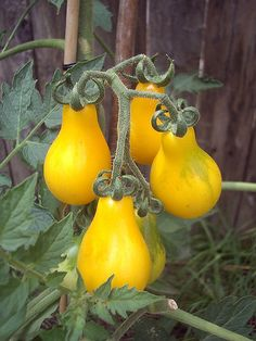 Yellow pear tomatoes look super-cute. See more: http://www.container-gardening-for-you.com/tomato-varieties.html