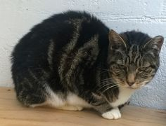 Mr T has been neutered, and is still rather wary of people, but is keen to make the effort to be sociable. Some TLC and a tincture of time will reap its rewards for him and his new owner.  Please contact Jean on 01631 566406 (after 8pm) if you feel that you can give one of our cats a forever home. Email rehoming@argyllanimalaid.org.uk