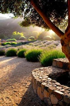 Matanzas Creek Winery: Olive trees produce estate olive oil. Visit in early June when the lavender is blooming!