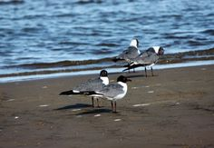 Seagulls, Bay St. Louis, MS