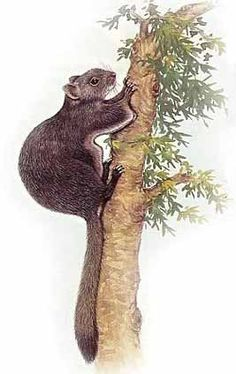 Chinese Flying Squirrel, North Chinese Flying Squirrel, Groove-toothed Flying Squirrel, Black-flanked Flying Squirrel	 Aeretes melanopterus