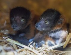 Mina and Tovo our Red Ruff Lemur babies born in April