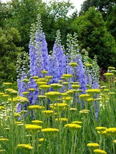 Moonshine yarrow and blue delphiniums