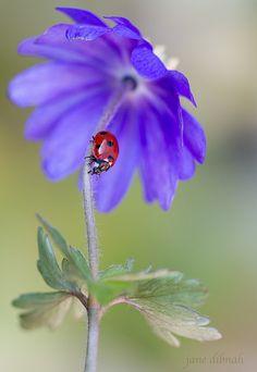 ~~Ladybug Anemone by Janie Dibnah~~