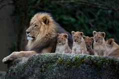 "phototoartguy: "" what a luck, all 4 lion babies, all male, came together for a shot with daddy (by old.gear) """