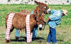 Ile De Ré, France: The woolly donkeys are attired in culottes. REALLY? Some one tailors pants for donkeys?