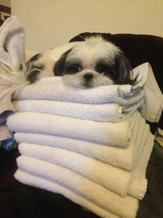 Shih tzu laying on a stack of towels