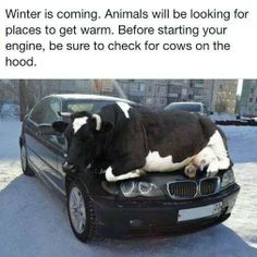 Check for cows