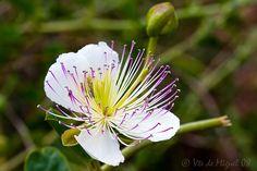 Flor de Alcaparra (capparis spinosa)