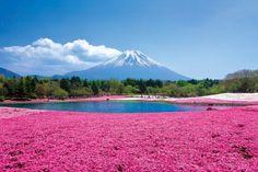 Shibazakura in full bloom with Mt. Fuji in the background(https://jp.pinterest.com/pin/205265695486085630/)