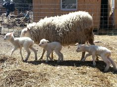Finnsheep are also known as Finns, and Finnish Landrace Sheep, and hail from Finland. This breed is several hundred of years old, but was only brought to . Ewe Sheep, Feed My Sheep, Sheep And Lamb, Sheep Wool, Farm Animals, Cute Animals, Baa Baa Black Sheep, Baby Mine, Lord Is My Shepherd