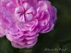 Ronny is telling you:'Persische Rose de Rescht'