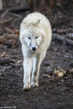 Wolf Wolf Photography, Wild Animals Photos, Arctic Wolf, Beautiful Wolves, Beautiful Creatures, Polar Bear, Cool Pictures, Husky, Wildlife