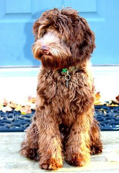 Lucky, an Australian Labradoodle Australian Dog Breeds, Australian Bulldog, Australian Labradoodle, Miniature Labradoodle, Havanese Dogs, Purebred Dogs, Goldendoodle, Pet Dogs, Dog Cafe