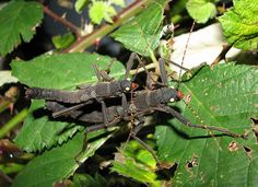 Pair of Peruphasma schultei, a species of stick insect found in the Cordillera del Condor region of northern Peru. In the wild the insect feeds on Schinus plants, but will feed on privet in captivity.
