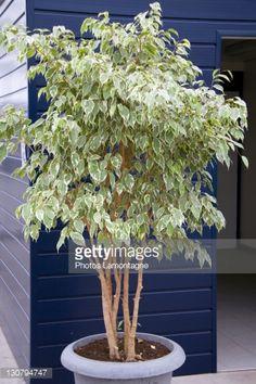 ficus benjamina variegata - babbo
