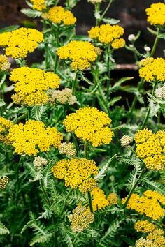 Yarrow (Achillea) is a carefree perennial that can reach 8 feet high. But woolly yarrow (A. tomentosa) has a ground-hugging habit with bright yellow flowers that grow to 10 inches tall. For more height, 'Moonshine' (shown) grows 2 feet high with similar blooms. Yarrows like dry to medium-damp soil; full sun. Zones 3–8
