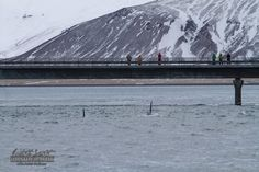 Orca sightings by Laki Tours in Kolgrafafjörđur, Iceland on 1-3-2015. SNO78 named Morning Star and SNO79 and a juvenile new to the Orca Catalogue of Laki Tours.
