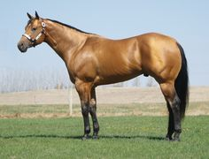 quarter horse pictures - Yahoo Image Search Results - Clint's horse