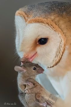 Early supper.... by Arno van Zon            Early supper.....In an old barn a barn owl has caught a mouse for supper......You have got to love nature and its creations.Have a great weekend, my friends!            Arno van Zon: Photos                                 #animals #photography